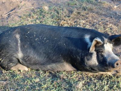 Rebecca the Pig